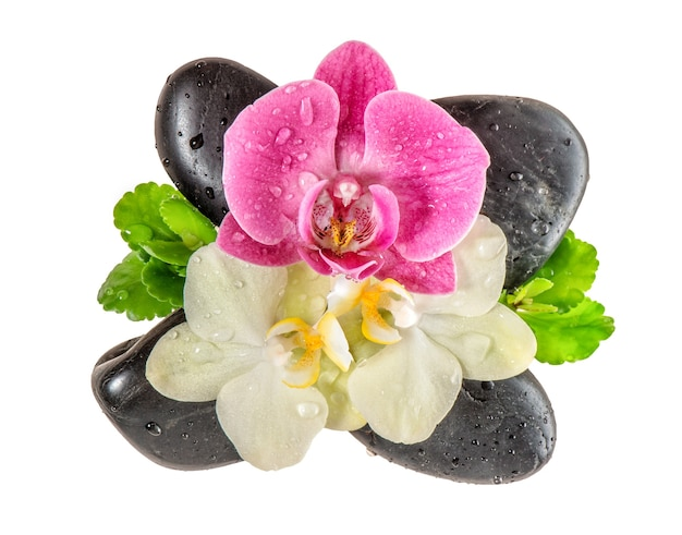 Flor de la orquídea con gotas de agua y piedras negras aisladas sobre fondo blanco. flores frescas