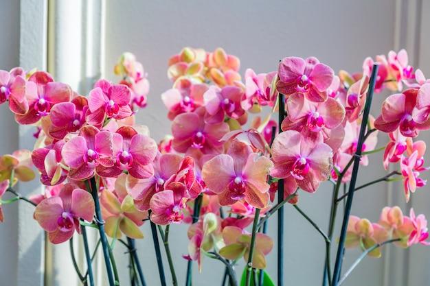 Flor de la orquídea phalaenopsis púrpura. blooming planta tropical en casa. jardinería doméstica