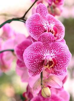 Flor de la orquídea del phalaenopsis
