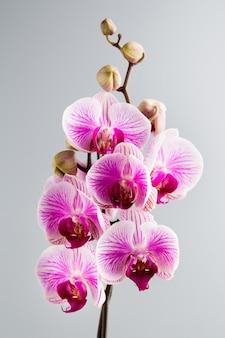 Flor de la orquídea rosa