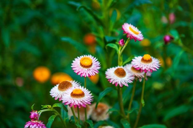 Flor de paja de colores hermosos en la naturaleza de hierba verde en un jardín de primavera.