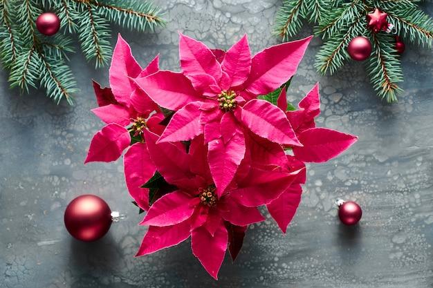 Flor de pascua rosa vibrante, celebración de navidad, plano sobre fondo de pintura acrílica líquida oscura decorada con ramas de abeto.