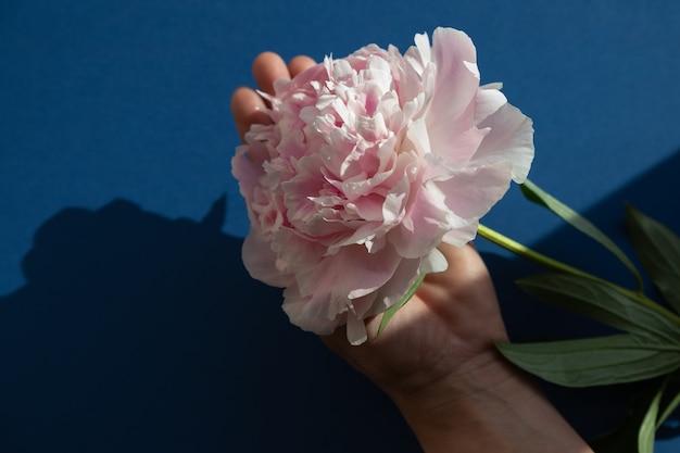 Flor de peonía en la mano de una mujer contra un fondo azul. mano sostiene una gran peonía rosa