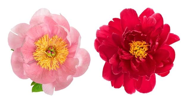 Flor de peonía rosa y roja aislada sobre fondo blanco. cabeza de flor