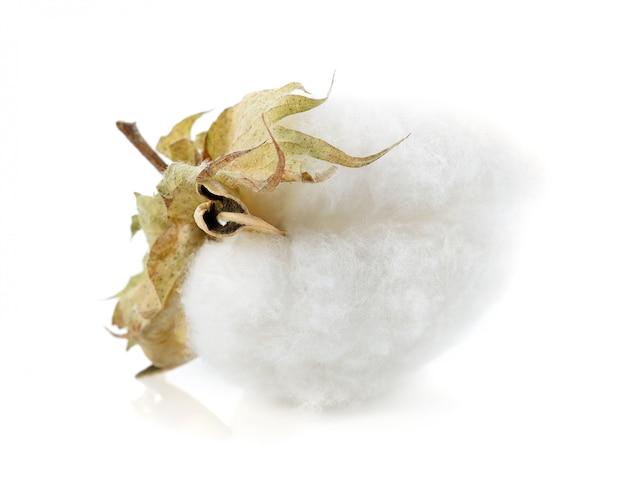 Flor de la planta de algodón aislada sobre fondo blanco