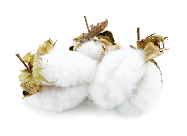 Flor de la planta de algodón aislado en blanco