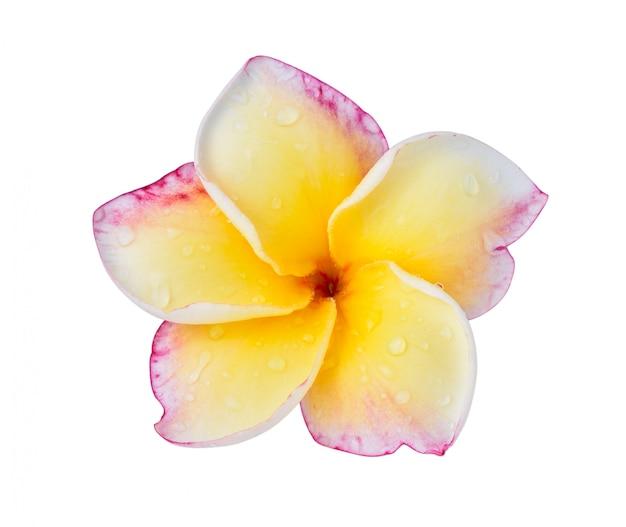Flor del plumeria en blanco.