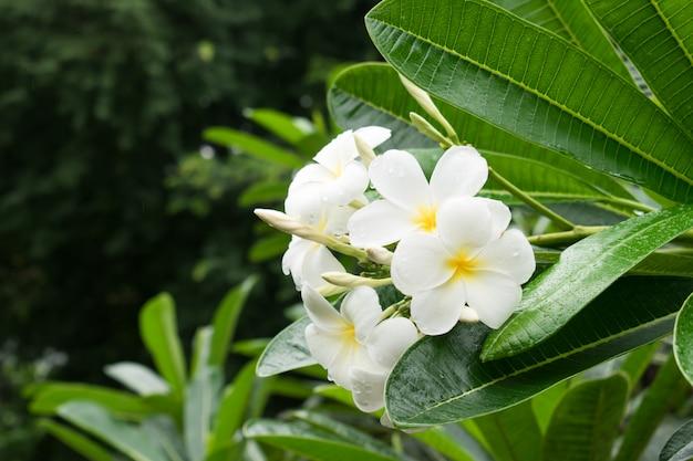 Flor de plumeria en el bosque después de la lluvia en chiang mai