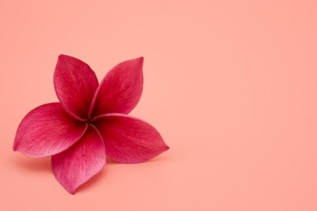 Flor de plumeria roja aislada sobre fondo rosa.