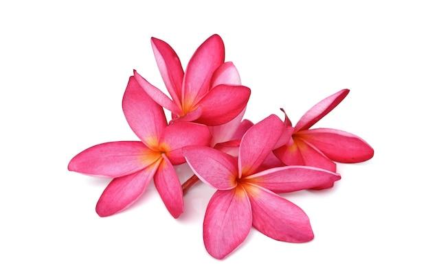 Flor de plumeria roja sobre fondo blanco.