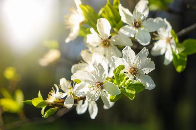 Flor de primavera. las primeras flores de cerezo en el sol de primavera.