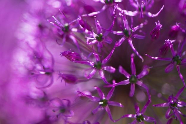 La flor púrpura del alium con la estructura floral del diente de león cae gotas del agua. macro