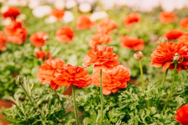 Flor de ranunculus que florece en el verano o el día de primavera