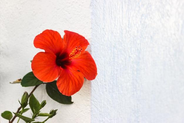 Flor roja amaryllis en la pared con copyspace