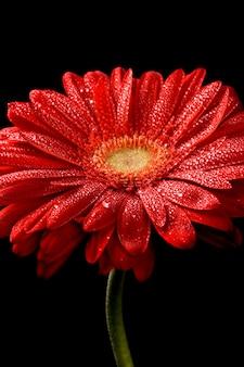 La flor roja del gerbera con agua cae en fondo negro