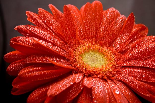 La flor roja del gerbera con agua cae el primer