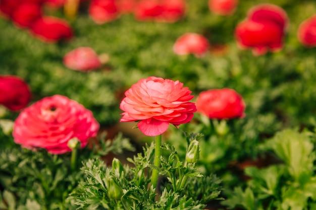 Flor roja del ranúnculo que florece en el jardín