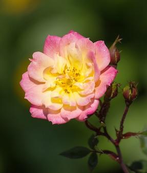 Flor de rosa amarilla en un jardín