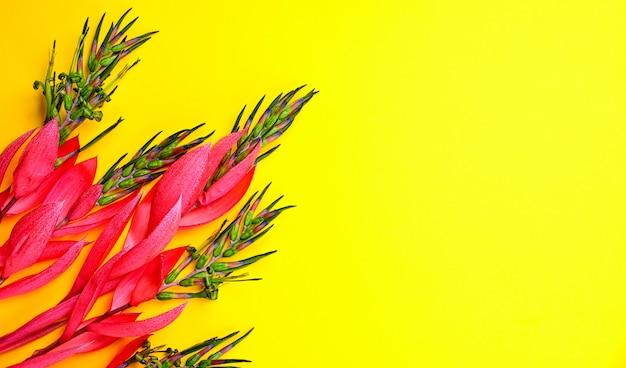 Flor rosa de billbergia sobre un fondo amarillo