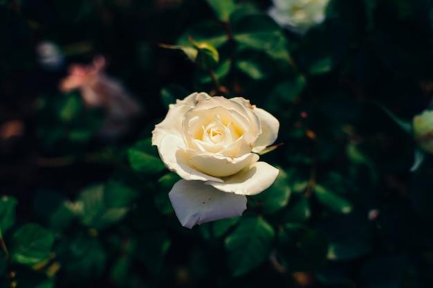 La flor de la rosa blanca en un arbusto contra un fondo de hojas verdes borrosas en el jardín.
