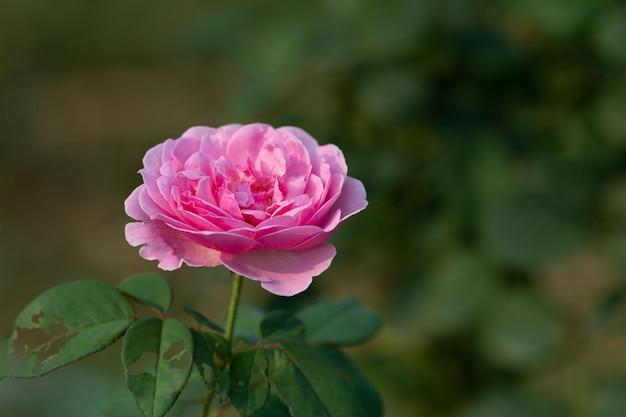 Flor rosa coral en jardín de rosas