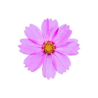 Flor rosa cosmos aislada sobre fondo blanco con trazado de recorte