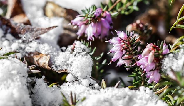 Flor rosa erica carnea flores invierno brezo y nieve en el jardín a principios de primavera floral