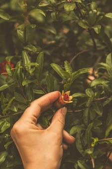 Flor rosa floreciente de granada en mano en hojas verdes