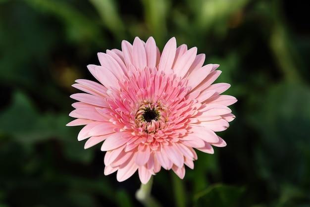 Flor rosa gerbera floreciendo