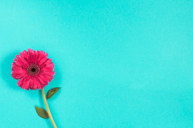 Flor rosa gerbera en mesa azul