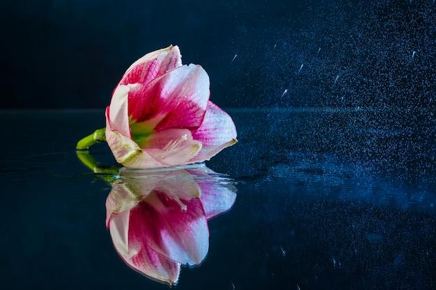 Flor rosa con gotas de agua sobre fondo azul oscuro.