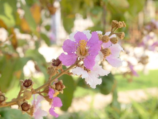 Flor rosa hermosa foco suave de cananga odorata flores