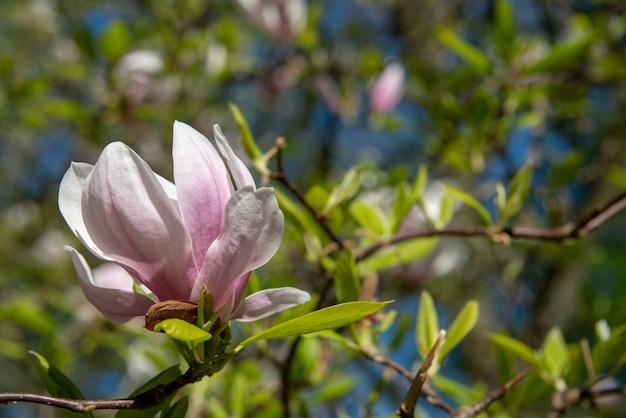 Flor de rosa magnolia