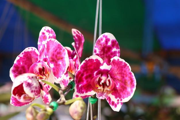 Flor rosa orquidea en tropical