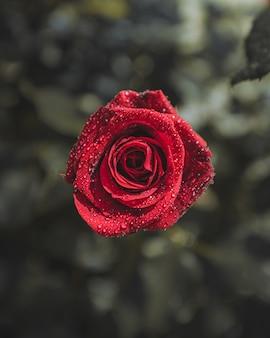 Flor rosa roja con gotas de agua