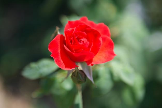 Flor rosa roja en el jardin