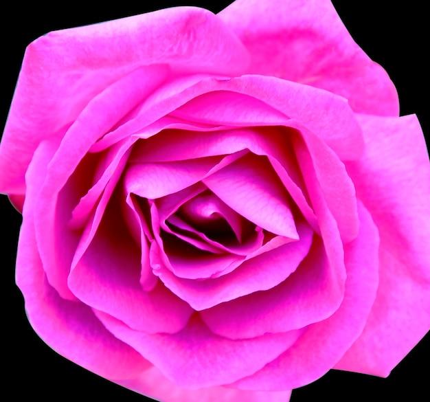 Flor rosa rosa hermosa sobre fondo negro