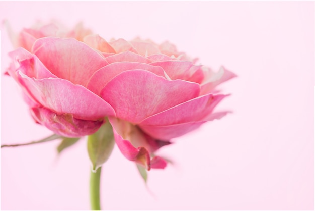 Flor rosa rosa pastel