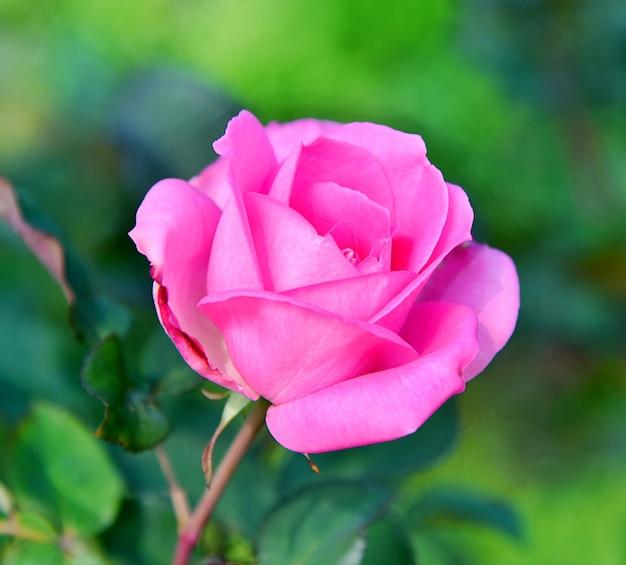 Flor rosa rosa sobre fondo de naturaleza borrosa