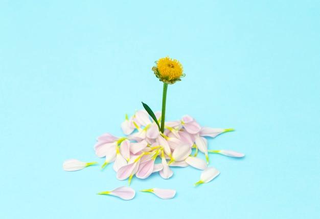 Flor rosa sobre un fondo mínimo de color. fondo floral creativo. copia espacio