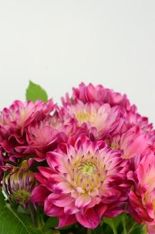 Flor rosada y amarilla de la dalia en un fondo blanco aislado