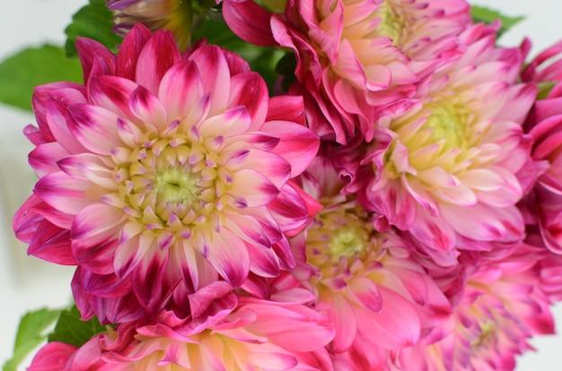 Flor rosada y amarilla de la dalia en un fondo blanco de cerca