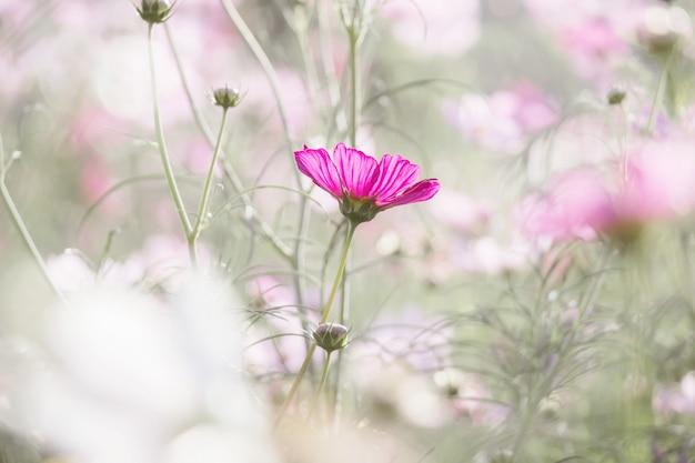 Flor rosada del cosmos en el jardín