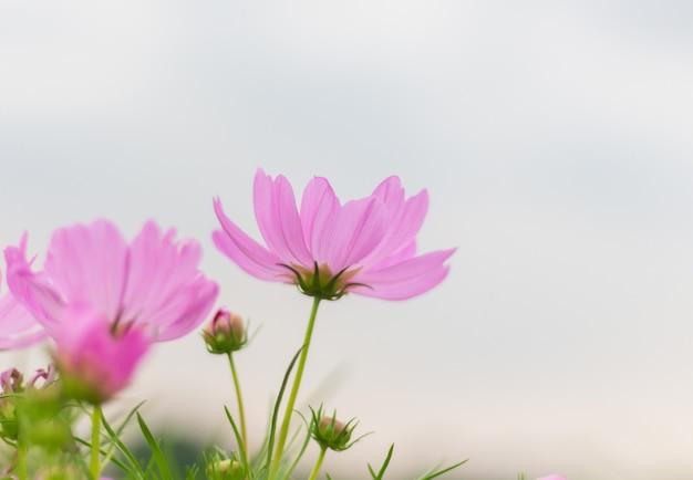 Flor rosada del cosmos que florece maravillosamente