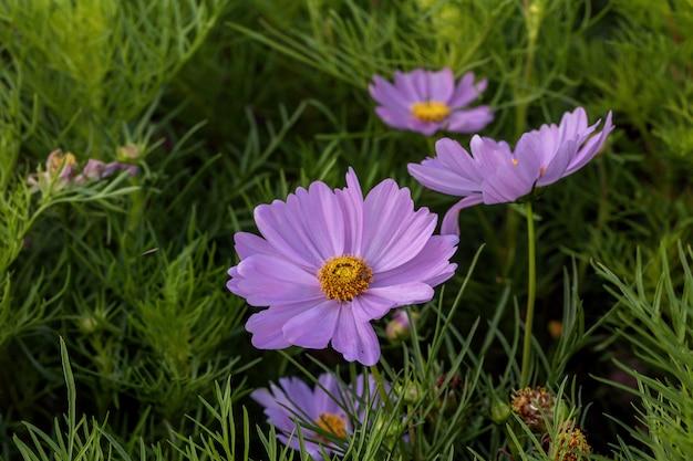 Flor rosada hermosa del cosmos que florece en un jardín.