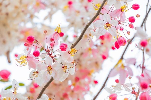 Flor rosada hermosa de la ducha que florece en la rama que desea el árbol