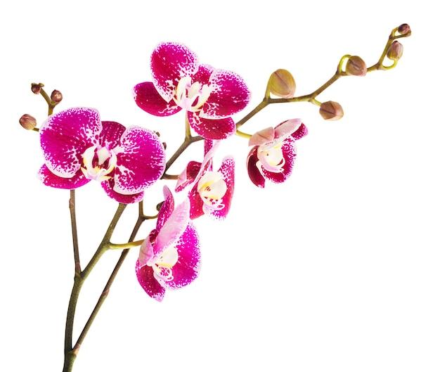 Flor rosada de la orquídea rayada, aislada