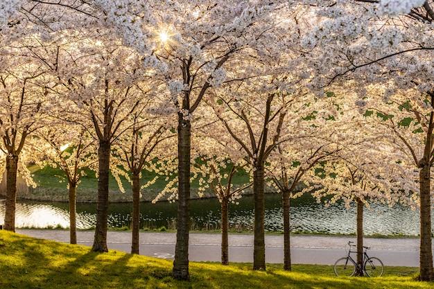 Flor rosada de sakura, árbol de cerezo en el parque.
