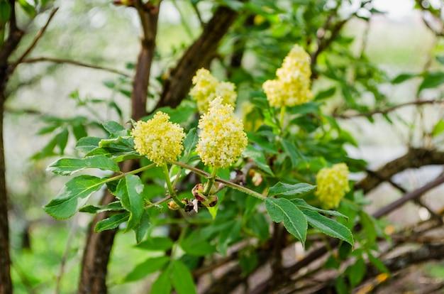 Flor de saúco, primer plano. flores de saúco, fondo de naturaleza al aire libre.