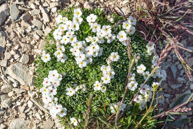 Flor silvestre de androsace villosa blanca